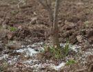 Ενσωμάτωση ζεόλιθου σε ροδιές - Τρίκαλα