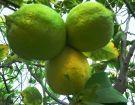 Ζεολιθικά λεμόνια. Αραδίππου, Κύπρος