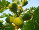 Ζεολιθικά σύκα. Αραδίππου, Κύπρος