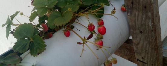 Ζεολιθικές φράουλες. Πρόδρομος Μεσσηνίας, 29/11/2017